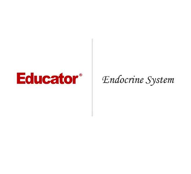 21 Endocrine System Anatomy Physiology