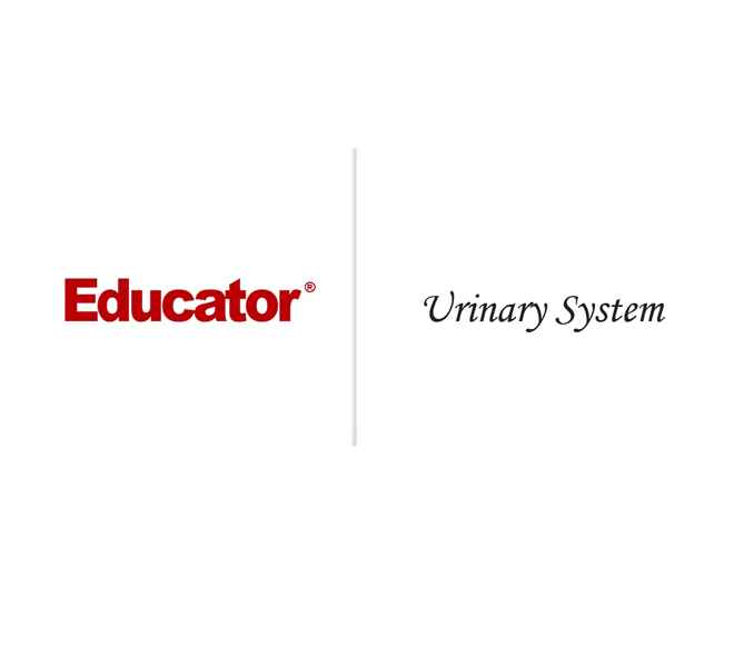 22. [Urinary System]   Anatomy & Physiology   Educator.com
