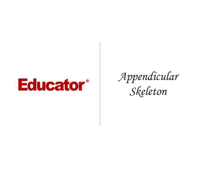 6. [Appendicular Skeleton] | Anatomy & Physiology | Educator.com